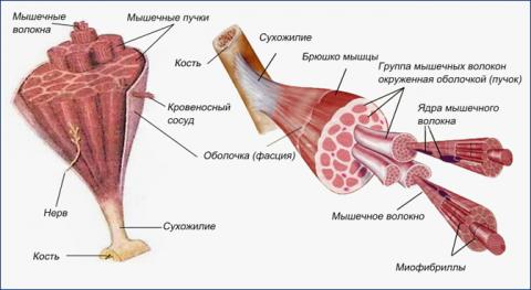Почему после тренировки болят мышцы