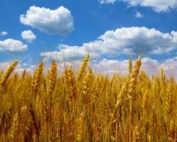 Как есть проросшую пшеницу